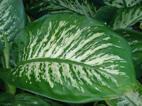 """Creative Commons ieffenbachia seguine (leaves). Location: Maui, Haiku. Source Plants of Hawaii, by Forest & Kim Starr, licensed under CC 3.0"