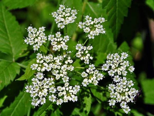 """Creative Commons Common Water-Hemlock (Cicuta maculata). By  Aaron Carlson, licensed under CC 2.0"