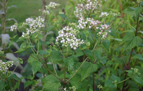 """Creative Commons Ageratina altissima (syn. Eupatorium rugosum): flower umbels. By Sten Porse, licensed under CC 2.0"