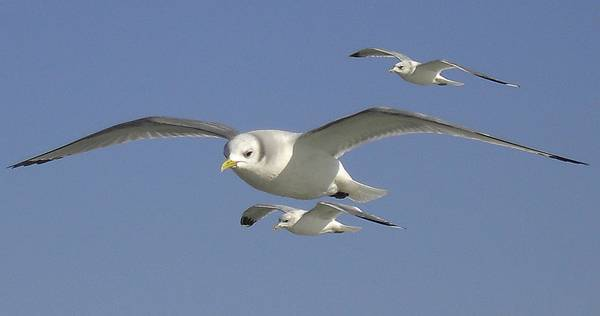 Marine birds fly at Cape Hay in the High Arctic. Credit: Hans Hillewaert, 2CC BY-SA