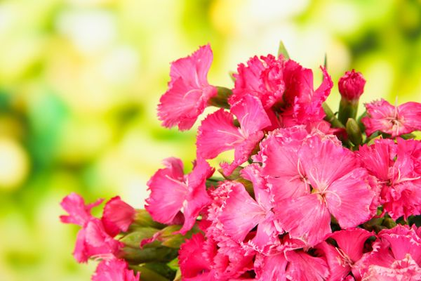 Carnation, Dianthus caryophyllus; creit shutterstock.com