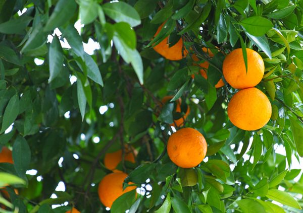Orange tree; credit: shutterstock.com