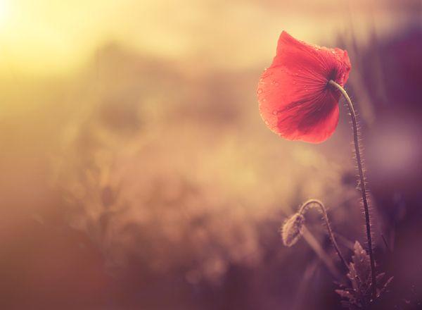 Poppy, Papaver somniferum; credit: shutterstock.com