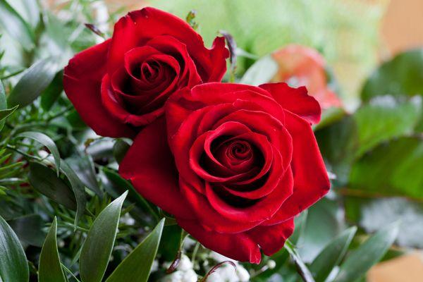 Rose plant; credit: shutterstock.com
