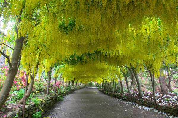 Laburnum Arch in spring time at Bodnant Gardens flowering a glorious yellow