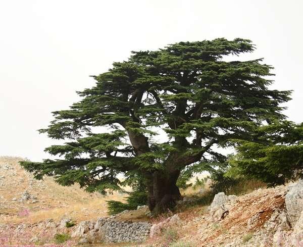 sacred trees | Lebanese Cedar