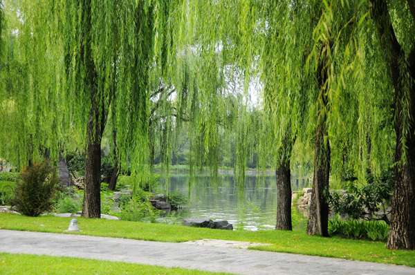 Italian Cypress | Willow tree