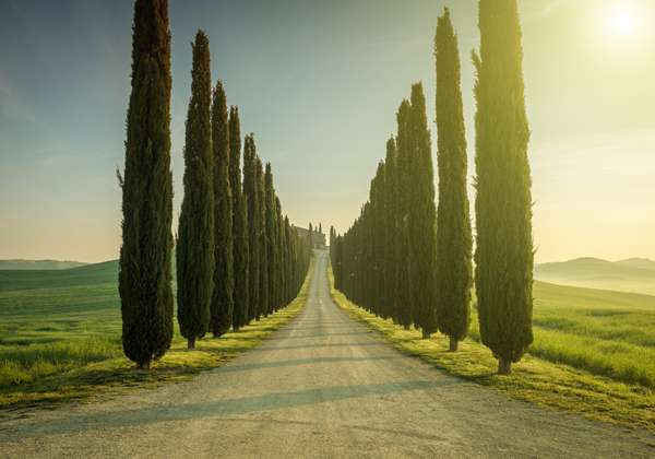 sacred trees | Italian Cypress