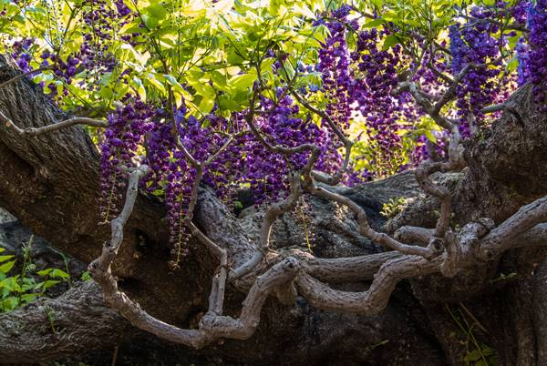 Close up of Wisteria stem at Ashikaga Park. Credit: Sarah Sutter
