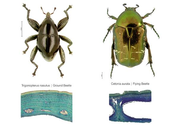 Comparison of internal elytron architecture in flying and flightless beetle. Credit: © Dr.Thomas van de Kamp, Prof. Dr. Hartmut Greven