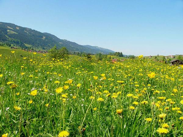 View of wildflower meadows in rural area in the municipality of Obermaiselstein located in the Allgäu region of the Bavarian Alps in southwest Germany. Credit: Nikater, licensed for Public Domain