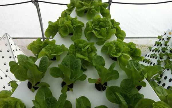 Romaine and Butter Head Lettuce. Image courtesy of www.pyramidgarden.com