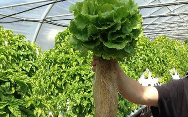 Live lettuce harvested. Image courtesy of www.pyramidgarden.com