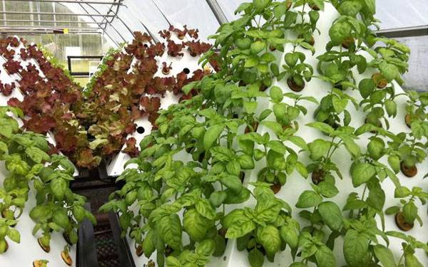 Basil and Red Butterhead. Image courtesy of www.pyramidgarden.com