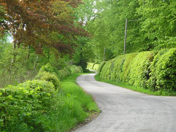 Beech hedges on the Barwhillanty Estate. Credit: Ruth Madigan, CC 2.0