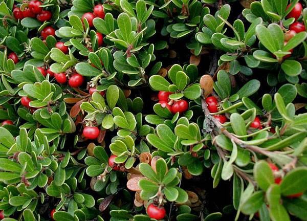 Tundra plants - Bearberries (Arctostaphylos spp.)