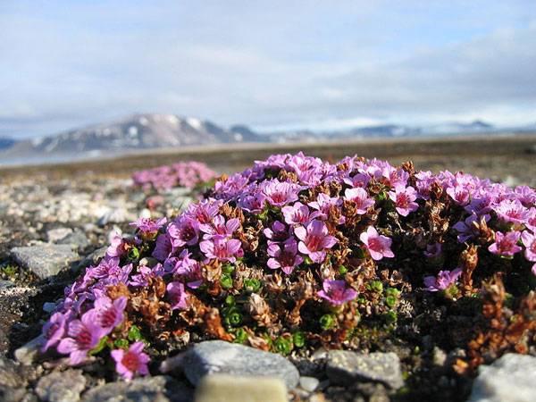 Tundra plants - Purple saxifrage (Saxifraga oppositifolia)