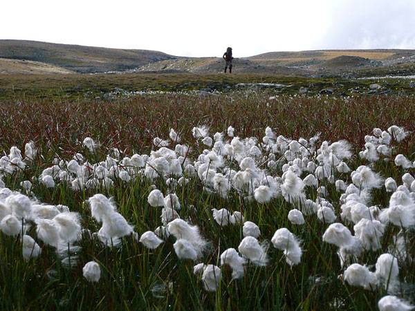 Tundra plants - Cottongrass (Eriophorum angustifolium)