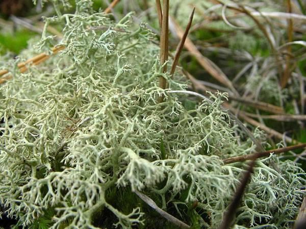 Tundra plants - Reindeer moss (Cladonia rangiferina)