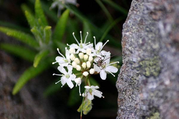 Tundra plants - Labrador tea (Rhododendron groenlandicum)