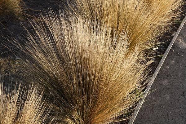 Tundra plants - Tussock grass (Deschampsia cespitosa)