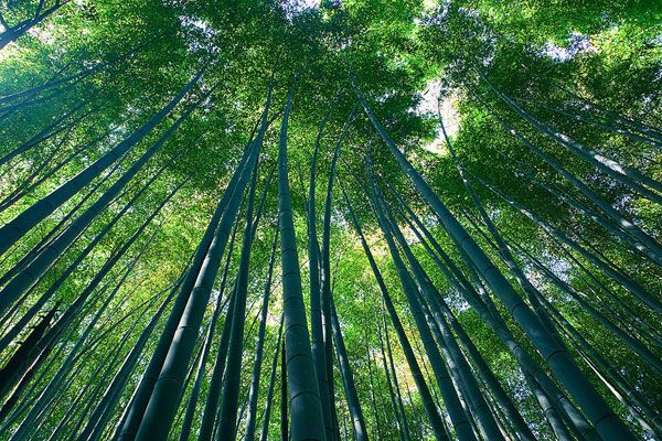 Sagano Bamboo forest, Arashiyama, Kyoto. Photo credit: Casey Yee from Vancouver, BC, Canada.Source.  Licensed under CC-SA 2.0