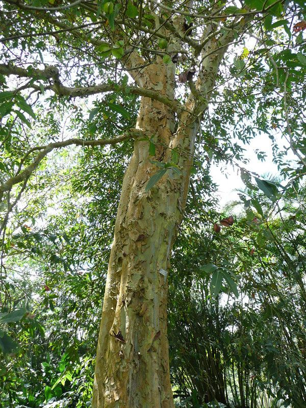 An example of Terminalia arjuna in Sir Seewoosagur Ramgoolam Botanical Garden. Photo credit: Author: Liné1. Licensed under GNU Free Documentation License