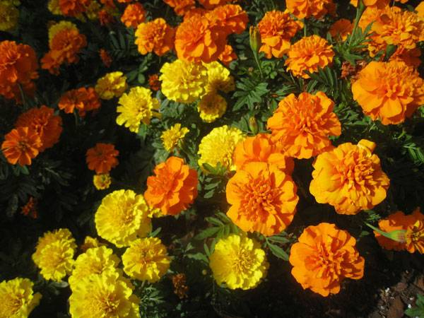 Marigolds. Photo credit: Katy Warner. Licensded under CC 2.0. Image source.