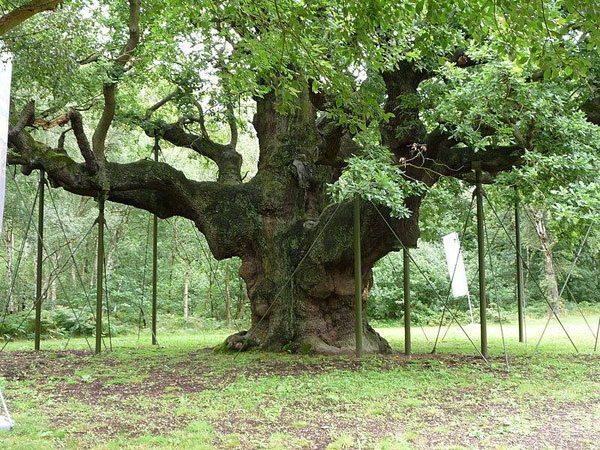 Major Oak. Photo credit: Immanuel Giel. Licensded under Public Domain. Image source.
