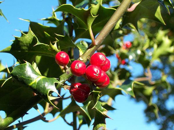 European Holly (Ilex aquifolium) leaves and fruit. PLicensed under 2.0. Image source.