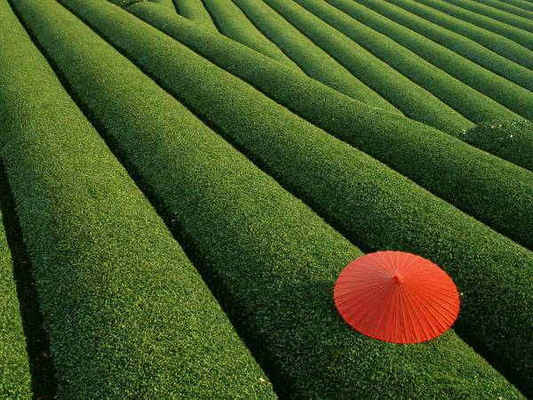 Tea Fields, Japan. Photo credit: Adrian Hum
