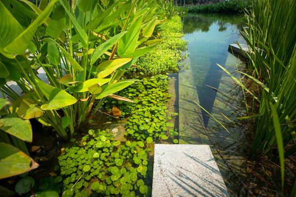 The pond edge is designed with different levels below the water surface to become a biofiltration medium that promotes the growth of submerged (Hydrilla), floating (Water Hyssop, Water Pennywort), and emergent (Powdery Thalia, Canna Lily, Calamus) aquatic plantings. Image courtesy of Landscape Architects of Bangkok