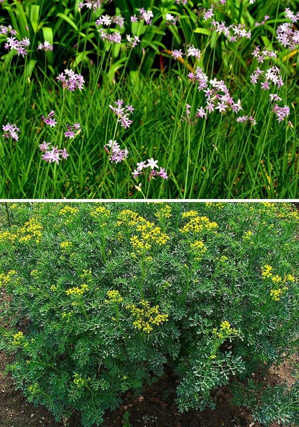 "TOP: ""Tulbaghia violacea"". Author - Manuel Martín Vicente from Valdemoro, Spain. Licensed under CC BY-SA 2.0 via Wikimedia Commons. BOTTOM: ""Licensed under CC BY-SA 3.0 via Wikimedia Commons"". Author - H. Zell. Licensed under CC BY-SA 2.0 via Wikimedia Commons."