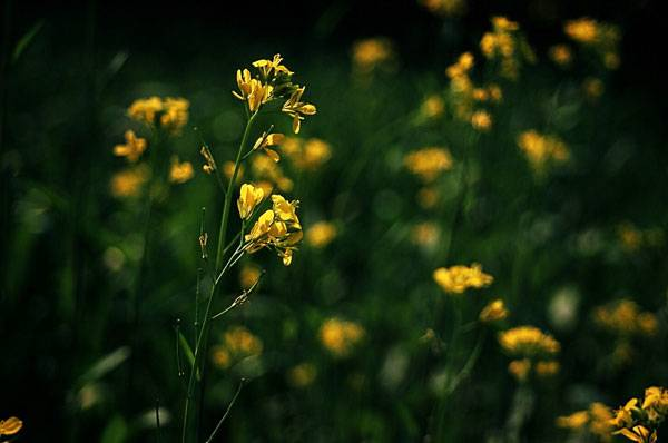 """mustard"" by Sajith T S. Licensed under Creative Commons 2.0 via Flickr"