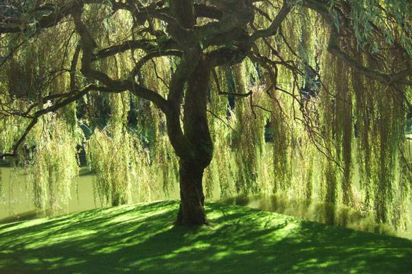 """Bloedel Reserve Willow Tree"" by Geaugagrrl - Own work. Licensed under Public Domain via Wikimedia Commons - https://commons.wikimedia.org/wiki/File:Bloedel_Reserve_Willow_Tree.jpg#/media/File:Bloedel_Reserve_Willow_Tree.jpg"