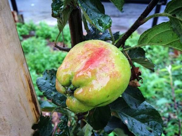 ": Apple ""Kidd's Orange Red"" starting to color. Fruit trees are carefully chosen for each location. Most fruit trees need at least six hours of sun each day, although cooking varieties can cope with semi-shade. Photo credit: @Open Orchard"