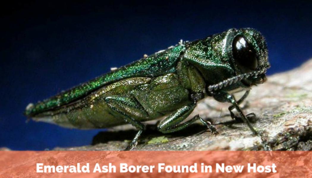Emerald Ash Borer Found in New Host