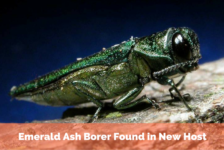 Emerald Ash Borer Found in New Host