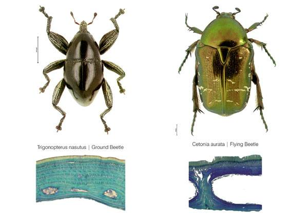 Comparison of internal elytron architecture in flying and flightless beetle. © Dr.Thomas van de Kamp, Prof. Dr. Hartmut Greven