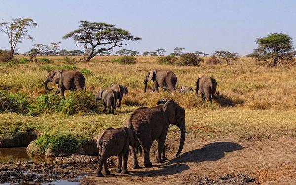 A herd of elephants in the morning in Serengeti National Park.By Bjørn Christian Tørrissen - Own work, CC BY-SA 3.0, https://commons.wikimedia.org/w/index.php?curid=22969284