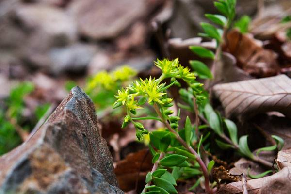 Sedum sarmentosum. Photo credit: 영철 이 via Flickr. Licensed under CC 2.0