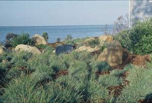 Carex glauca in Santa Barbara. Photo credit: Susan Harris, via Flickr. Licensed under CC 2.0