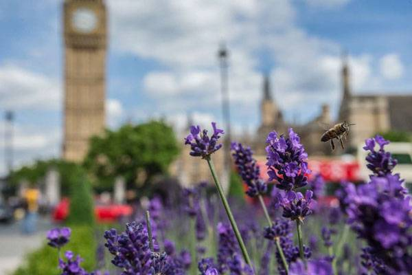 Bees and lavender, Westminster. Credit: Luke Massey and Greater London National Park Initiative