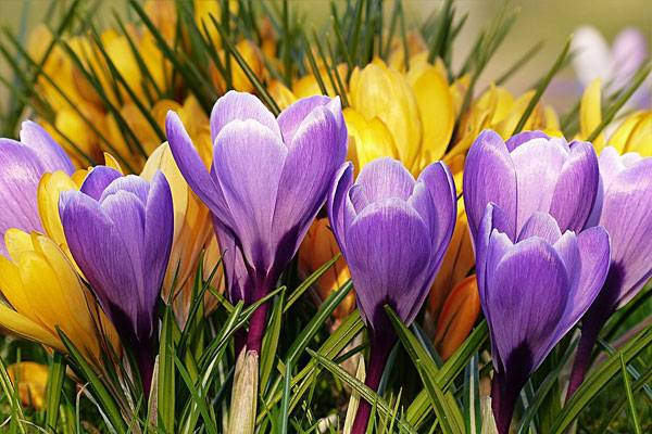 Will crocus find its way into your bee-friendly city. Image licensed under CC 0.0