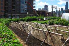 An urban farm in Chicago