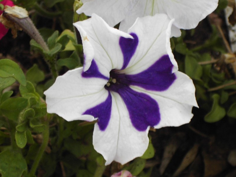 viola tricolor – caldas 1