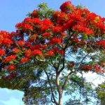 Concept Image - Poinciana Tree