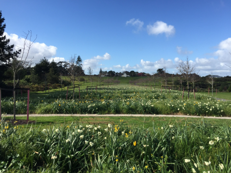 The project also included planting 50,000 daffodils and relocating several mature pohutukawa trees from under-development airport property onto Abbeville Estate. Photo by Surfacedesign